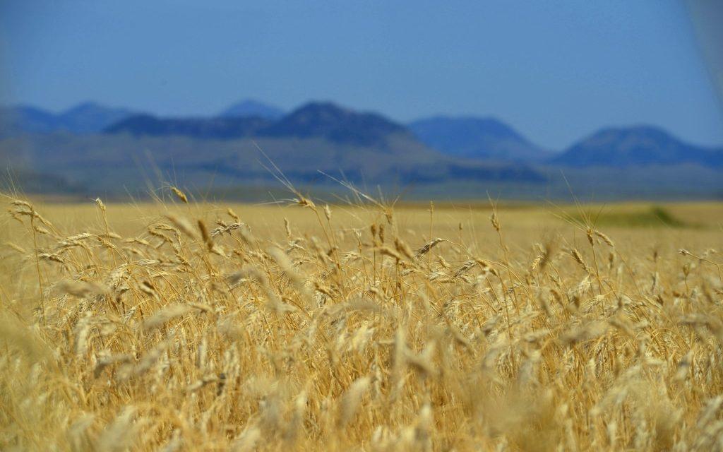 Urkorn – besondere Getreide im Fokus!