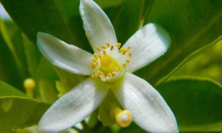 Lindenblüten in der Kosmetik: Entspannend wie ein Sommertag!